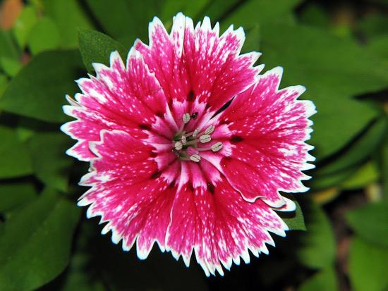 Conheça plantas ornamentais cor-de-rosa para cultivar em casa